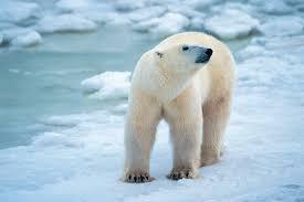 canadian polar bear