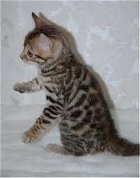 bengal cat photos