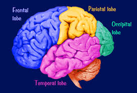 cortex brain