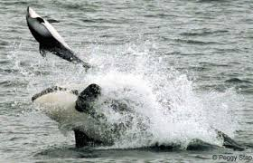 killer whale dolphins