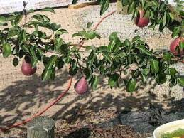 espalier pear trees