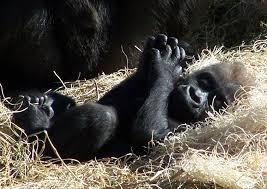 gorilla videos