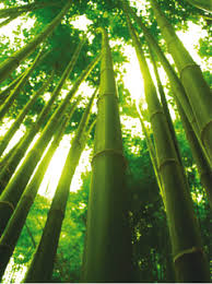 chinese bamboo tree