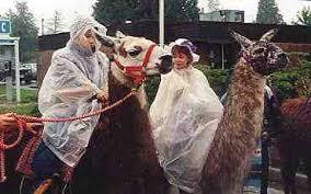 riding llamas