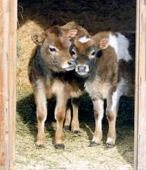 pictures of jersey cows