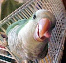 parrot quaker