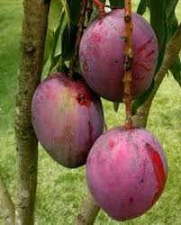 mangoes trees