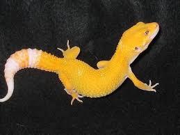 gecko morphs