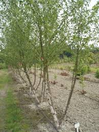 heritage birch trees