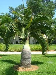 bottle palm