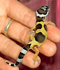 leopard gecko breeding
