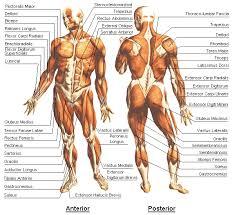 anatomie menselijk lichaam
