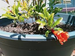 pomegranate fruit tree