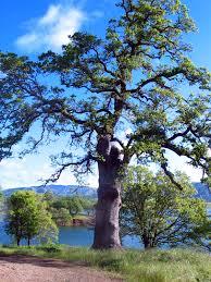 blue oak tree