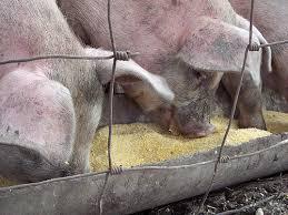 pigs food