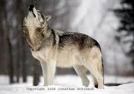 canada wolf