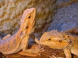 dragon bearded lizards