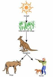 red kangaroo food chain