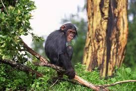 chimp habitat