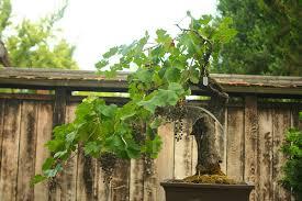 bonsai grape tree