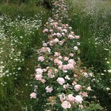 rose foliage