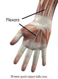 flexors of the hand