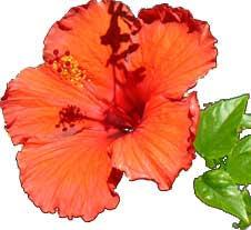 grapevine flower