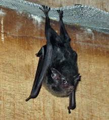 picture of bats