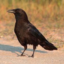 crow bird pictures