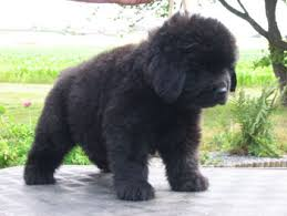 newfoundland dog puppies