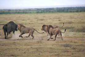 lions eat