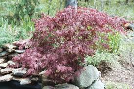 japanese lace leaf maple