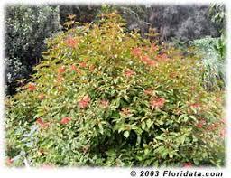 firebush shrub