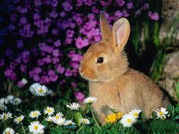 free rabbit wallpaper