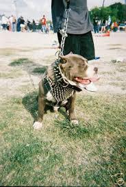 pitbull spiked collars