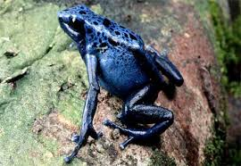 dart frog pictures