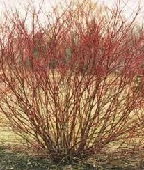 red twig dogwood tree