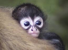 pictures of baby spider monkeys