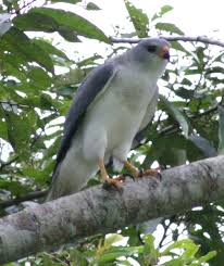 goshawk photos