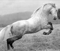 caballos de pura raza espanola