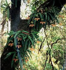paphiopedilum species