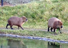 pictures of capybaras