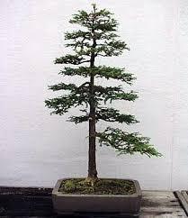 redwood tree seedlings