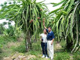 growing dragon fruit