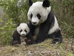 pictures of pandas bears