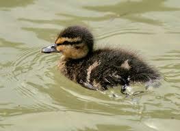 duckling photos
