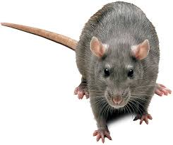 animated rat pictures