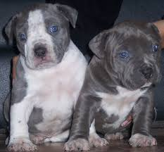 blue pitbull pictures
