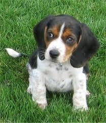 miniature beagle puppies
