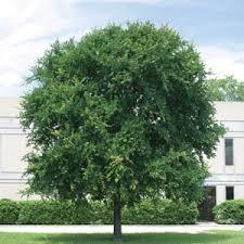 cedar elm trees
